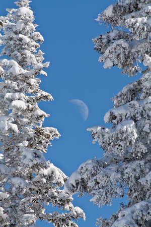 freshly fallen snow: Luna crescente Luna sopra pini coperte di neve fresca