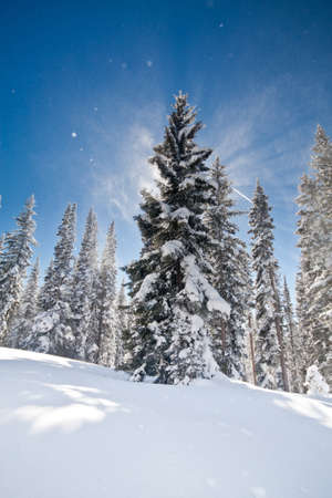 Pine and Spruce Trees in the Forest Covered in Freshly Fallen Snow Under Blue Skies
