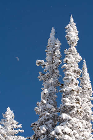 Waxing Crescent Moon Over Pine Trees Covered in Freshly Fallen Snow