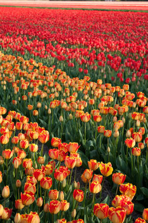 Red and Yellow Tulip Field Stock Photo