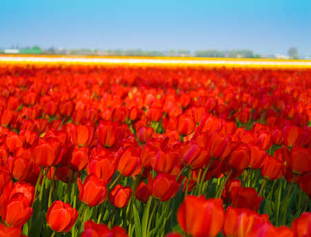 Field of Red Dutch Tulips With Blue Skies Stock Photo