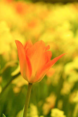 Orange and Red Tulip With Yellow Flowers in the Background Stock Photo
