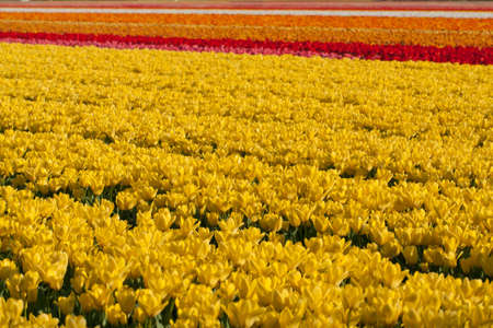 Field of Yellow, Orange, Red and White Dutch Tulips
