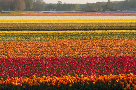 Vast Field of Red, Orange, Yellow and White Tulips