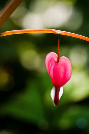 Bleeding Heart Flower Stock Photo