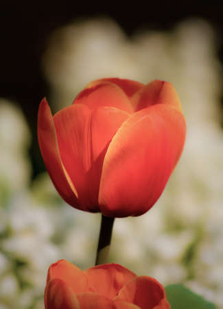 Orange Tulip With White Flowers in the Background