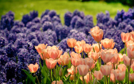 Pink Tulips and Purple Hyacinth