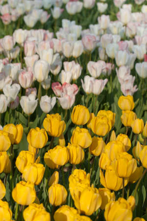 Field of Yellow and White Tulips Stock Photo