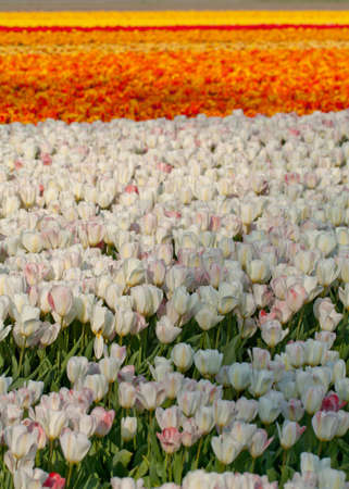 Field of Yellow, Orange, Red and White Tulips