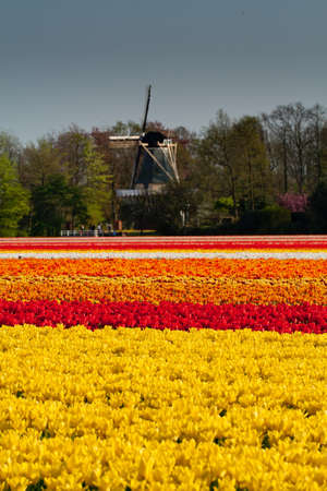 Dutch Windmill With Field of Yellow, Red, Orange and White Tulips Stock Photo