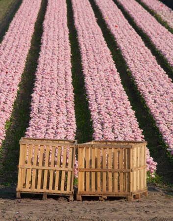 bridget calip: Pink Rows of Tulips with Wooden Crates Stock Photo