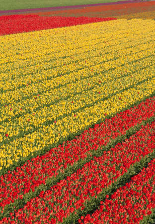 Field of Yellow and Red Tulips in Holland