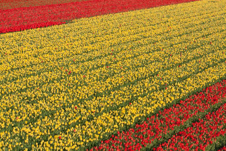 Rows of Yellow and Red Tulips in Holland Stock Photo