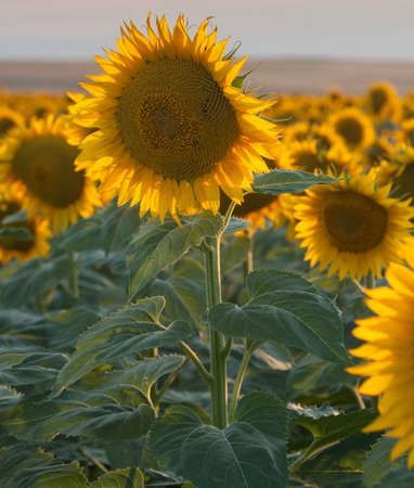 Sunflower Fields in Summer photo