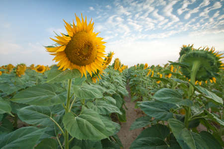 Sunflower Fields in Summer Stock Photo - 18809786