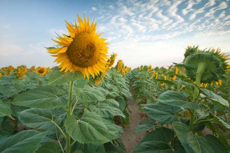 Sunflower Fields in Summer Stock Photo - 18809786