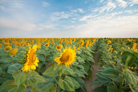 Sunflower Fields in Summer Stock Photo - 18809784