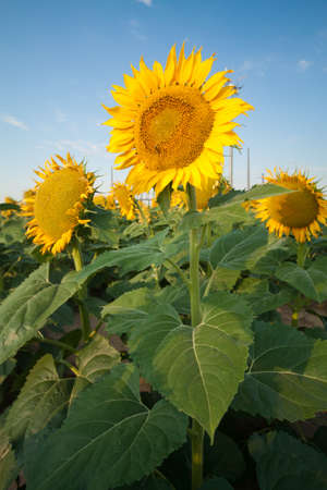 Sunflower Fields in Summer Stock Photo - 18809757