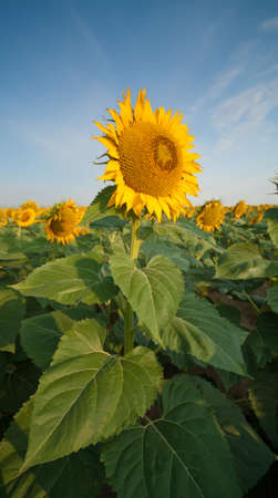 Sunflower Fields in Summer Stock Photo - 18809740