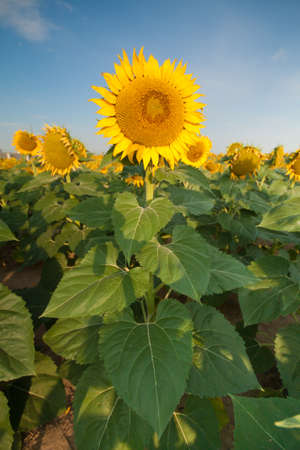 Sunflower Fields in Summer Stock Photo - 18809785