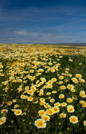 Tidy Tips at Carrizo Plain National Monument Stock Photo - 18986426