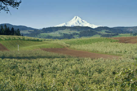 bridget calip: Mt  Hood From Fruit Orchards in Hood River Oregon Stock Photo