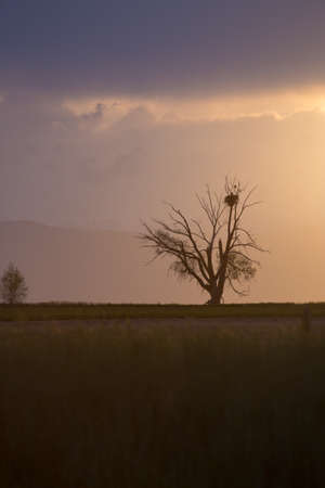Lone Tree With Bird s Nest At Sunset With Dramatic Light and Clouds