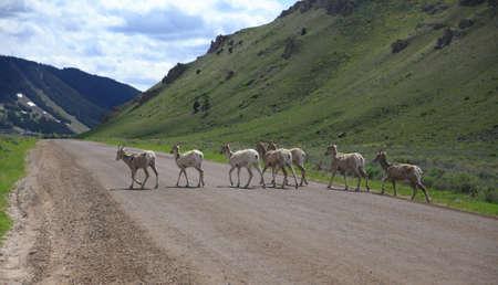bridget calip: Big Horn Sheep Crossing the Road Stock Photo