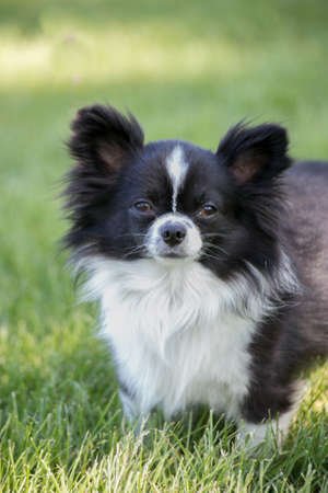Black and White Chihuahua Dog in Green Grass photo