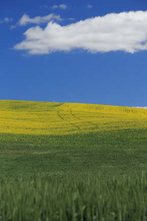 Rolling Hillside of Canola Flowers With Blue Sky and Cloud photo