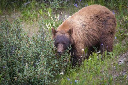 cinammon: Black Bear With Cinammon Coat - Ursus Americanus Cinnamomum Stock Photo