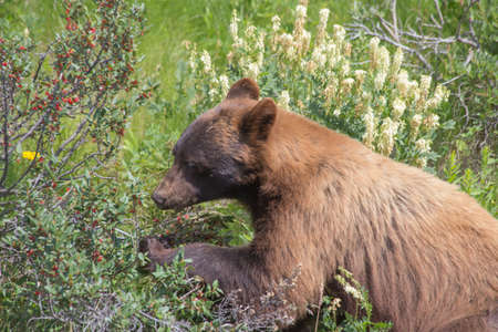 Black Bear Eating Berries - Ursus Americanus Cinnamomum