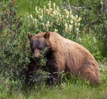 The Cinnamon Bear - Ursus Americanus Cinnamomum Stock Photo