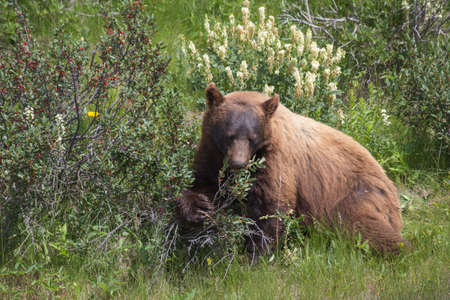 Black Bear Eating Berries in National Park Stock Photo