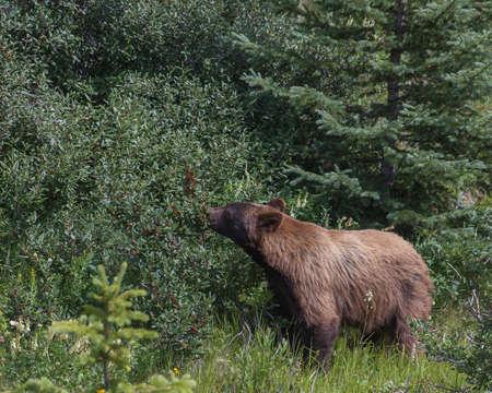 The Cinnamon Bear - Ursus Americanus Cinnamomum Stock Photo