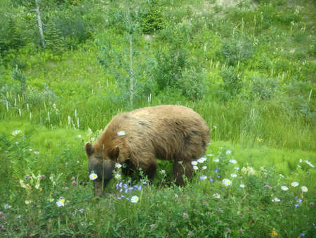 Black bear with cinnamon coat eating flowers in Canada
