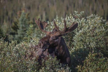 bridget calip: North American Bull Moose Eating Willows