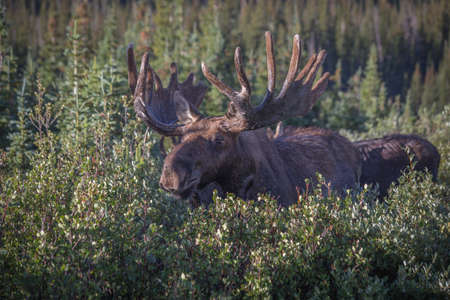 palmate: North American Bull Moose Eating Willows