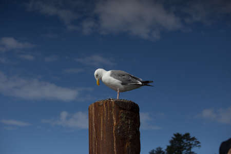 piling: Seagull on Rusted Metal Piling with Blue Sky and White Puffy Clouds Stock Photo