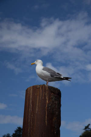 Seagull on Rusted Metal Piling with Blue Sky and White Puffy Clouds Stock Photo
