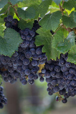Close Up of Red Wine Grapes Hanging on the Vine Stock Photo