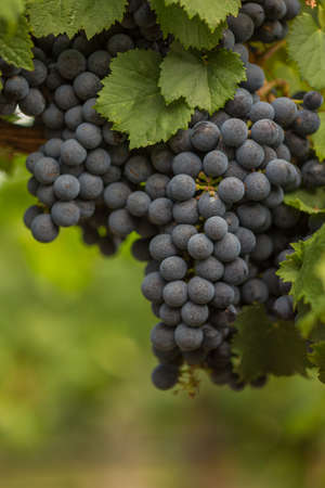 Close Up of Red Wine Grapes Hanging on the Vine in the Shade photo