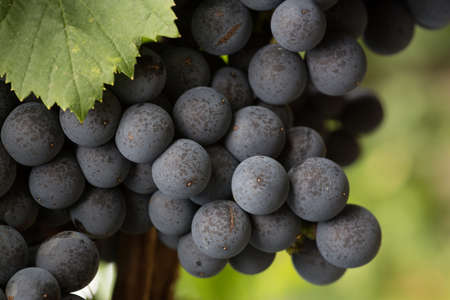 Close Up of Red Wine Grapes Hanging on the Vine in the Shade