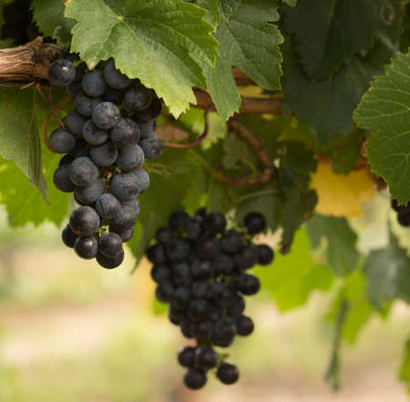 Close Up of Red Wine Grapes Hanging on the Vine on a Sunny Day