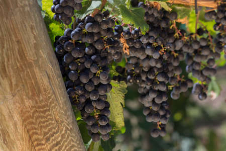 Close Up of Sun Lit Red Wine Grapes Hanging on the Vine Stock Photo