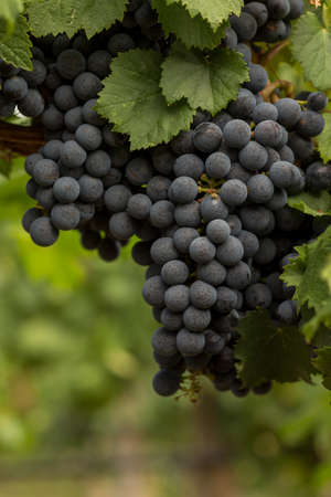 Cluster of Malbec Grapes Hanging on the Vine