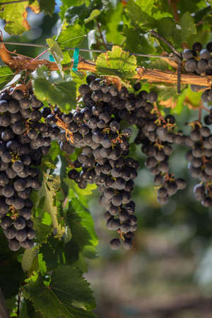 Cluster of Purple Wine Grapes