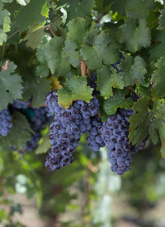 Cluster of Red Malbec Wine Grapes Hanging on the Vine