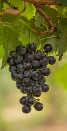 Cluster of Red Wine Grapes Hanging on the Vine on a Sunny Day
