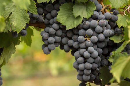 Large Cluster of Red Wine Grapes Hanging on the Vine